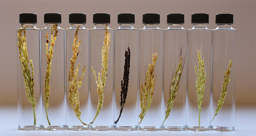 Different Morphologies of an Ear of Rice
