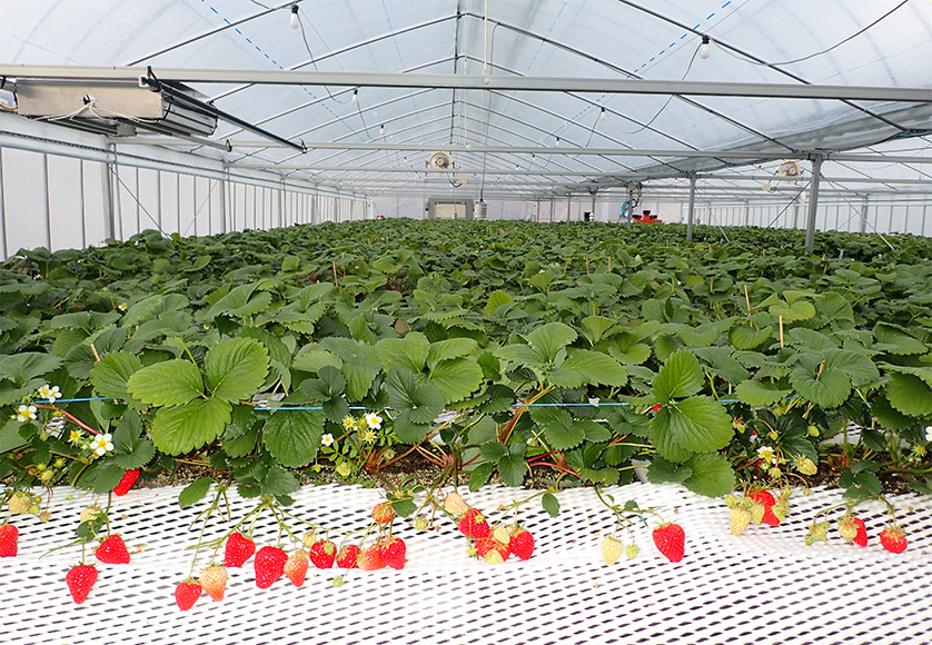 Growing Strawberries Using a High-Density Rotating Cultivation Apparatus