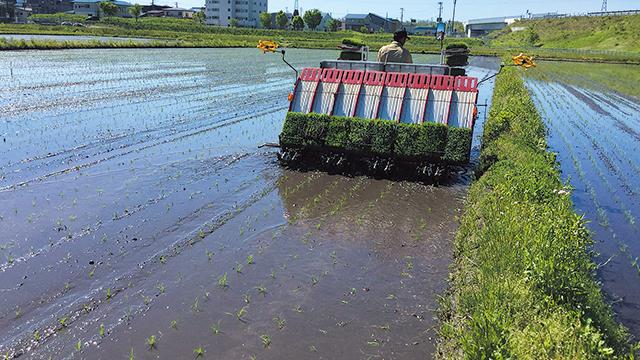 広大なほ場では、途中での苗つぎが必要となり、あぜの苗つぎと比べて重労働。密苗なら、直線距離240mの往復も余裕ででき、作業効率が大幅アップ。