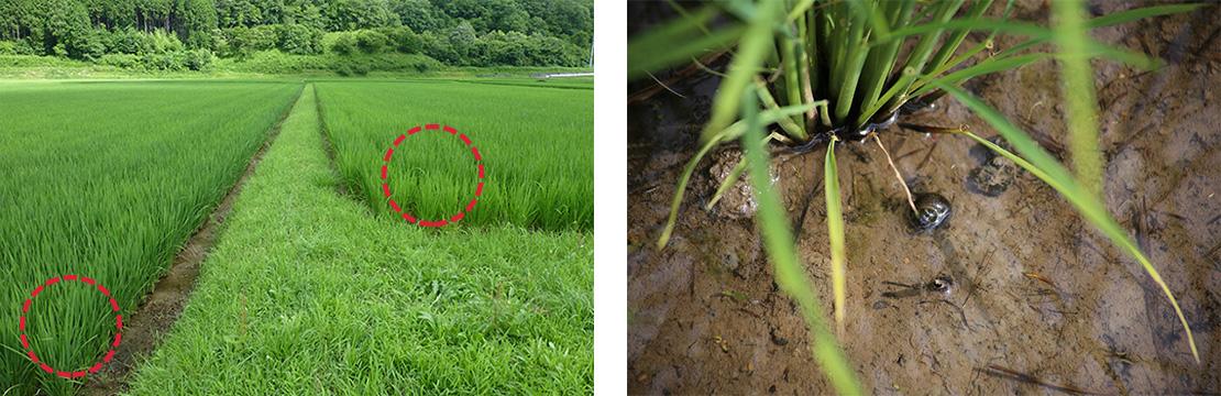 <カルテック農法>で栽培したほ場の稲(右のほ場)は、慣行栽培(左のほ場)と違って、緑色がすこし淡く自然の草に近い葉色になり、タニシの数が多いという。