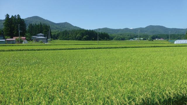 収穫を待つ密苗のほ場。
